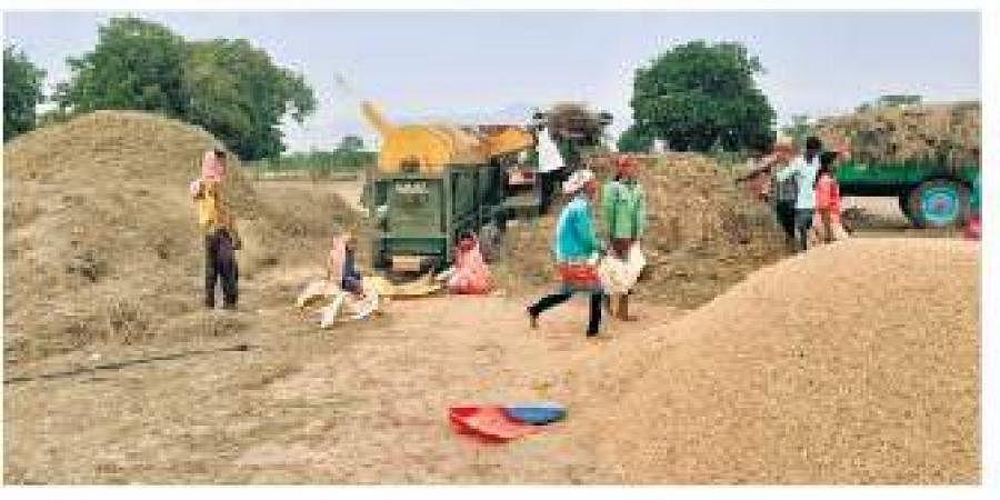 Farmers harvesting rabi paddy.