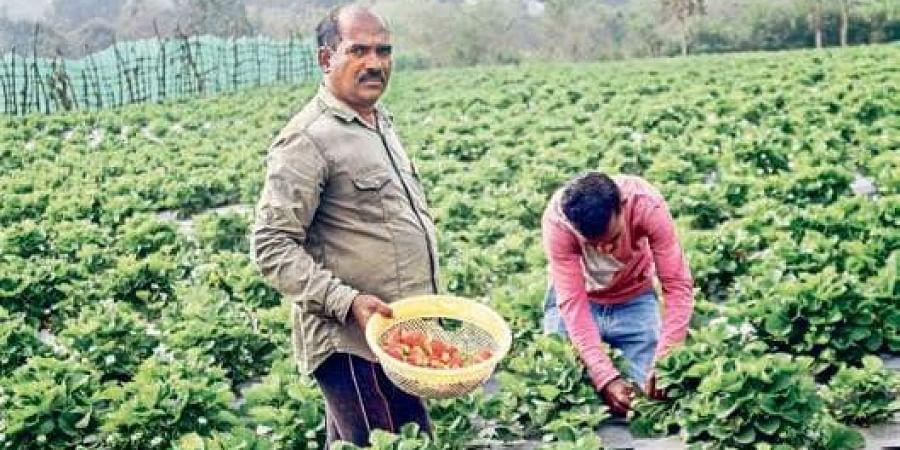 strawberry farmers