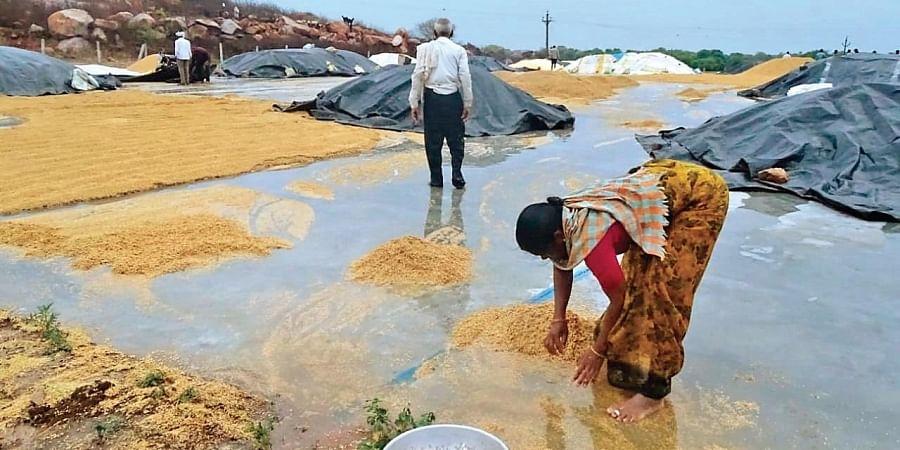 A farmer collects paddy from accumulated rainwater at Ganneruvaram in Karimnagar district on Sunday