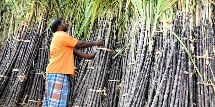 Sugarcanes are important while celebrating the festival and are considered to be a mark of a good harvest.