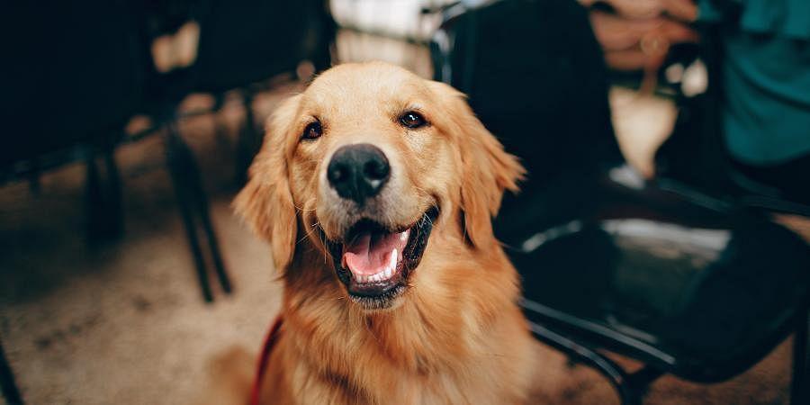 gold retriever, dog, therapy dog