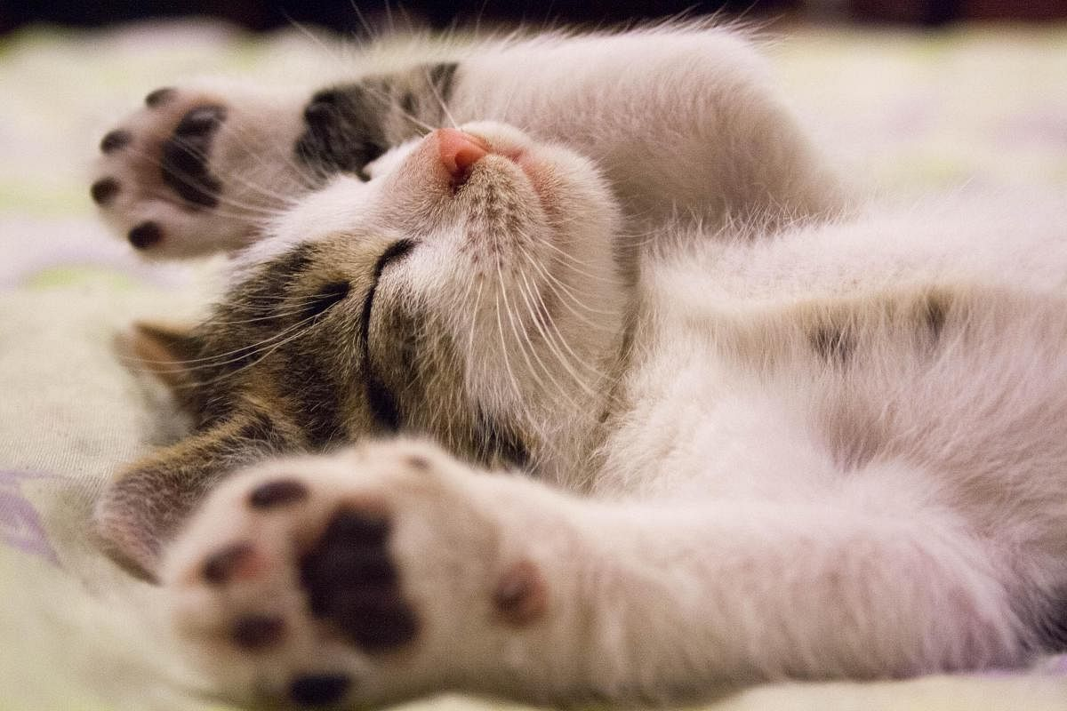 Two Pet Cats In New York Test Positive For Covid 19 The New Indian Express