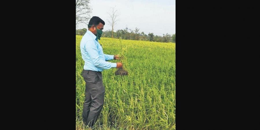 Jujumura Tehsildar Suman Minz inspecting paddy crop damaged by untimely rain and heavy wind