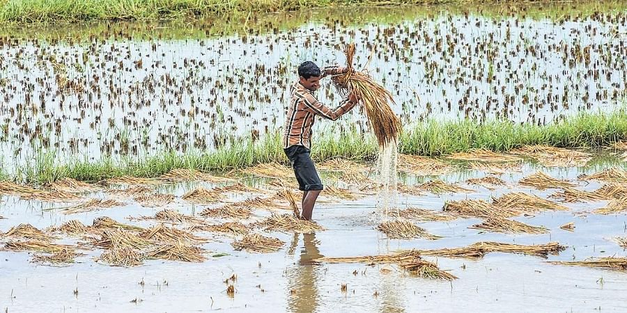 A farmer tries to salvage damaged paddy from a flooded agriculture field at Jaleswar in Balasore district on Thursday.