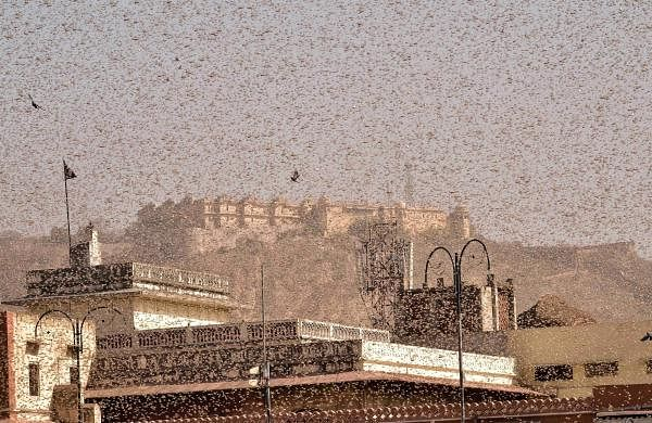 10 UP districts on alert after locust swarms attack crops in Rajasthan, MP