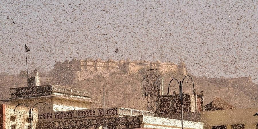Swarms of locust in the walled city of Jaipur. (Photo| PTI)