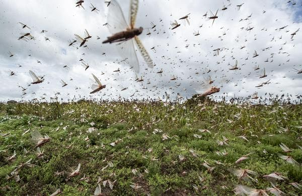 Locusts swarm UP and Maharashtra, high alert in Punjab; Government to deploy drones