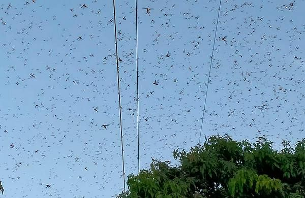 Bihar on high alert as locust attack fears increase