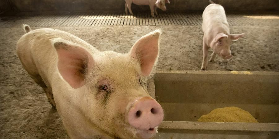 Pork lovers worldwide are wincing at prices that have jumped by up to 40 percent as China's struggle to stamp out African swine fever in its vast pig herds sends shockwaves through global meat markets. (Photo | AP)