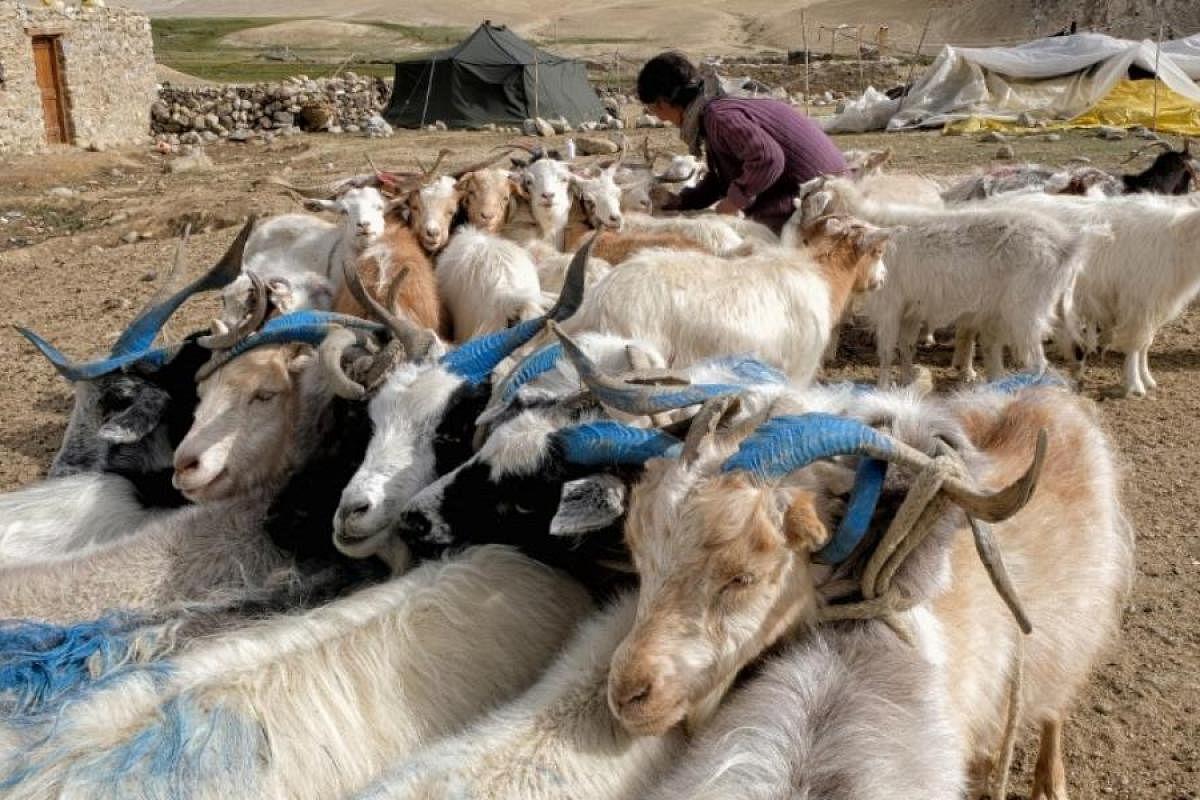Chinese Woman Killing A Goat / Goat Vaccination Alabama ...
