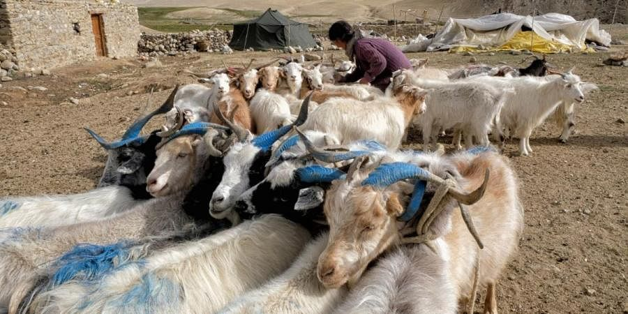 Changpa nomad Sonam Yangzom ties pashmina goats before milking them in a nomadic camp, about one kilometre from Korzok village in Leh district