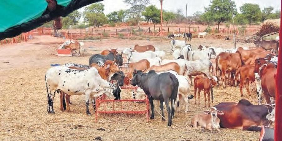 Cows at the gaushala on the outskirts of the city do not have sufficient fodder as funds dried up during the lockdown