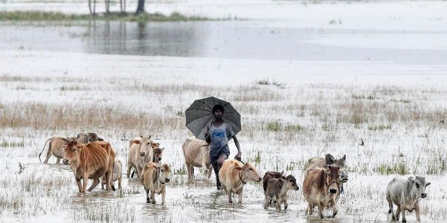 A villager walks with his cattle through floodwaters at Buraburi village of Morigoan district in India's northeastern state of Assam on June 27, 2020.