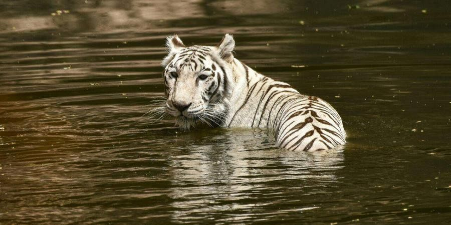 At Nehru Zoological Park in Hyderabad, a white tiger is seen taking a dip to cool itself. (Vinay Madapu   EPS)