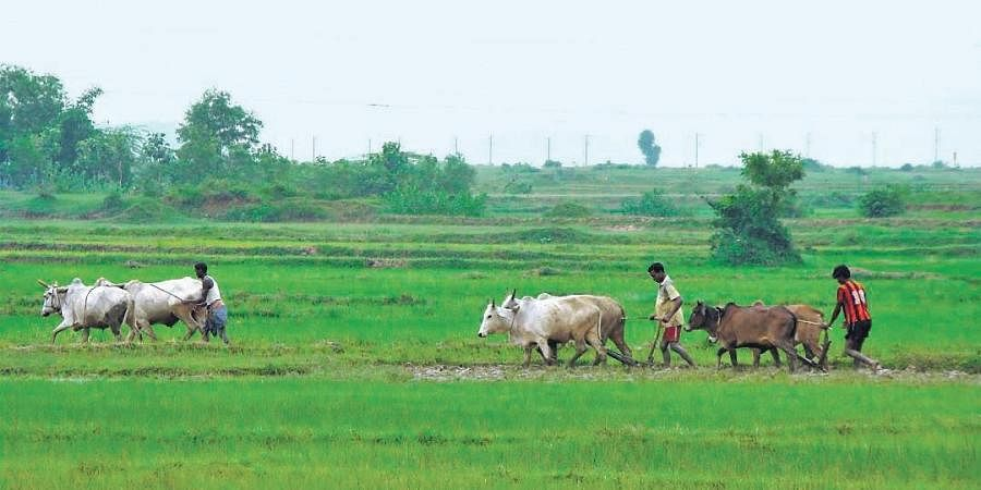 Farmers cultivating their land in a village in Kendrapara district