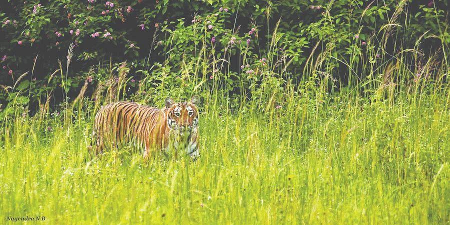 Tiger hiding behind a bush at Bandipur Tiger Reserve.
