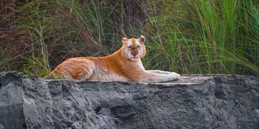 Kazi 106-F tiger