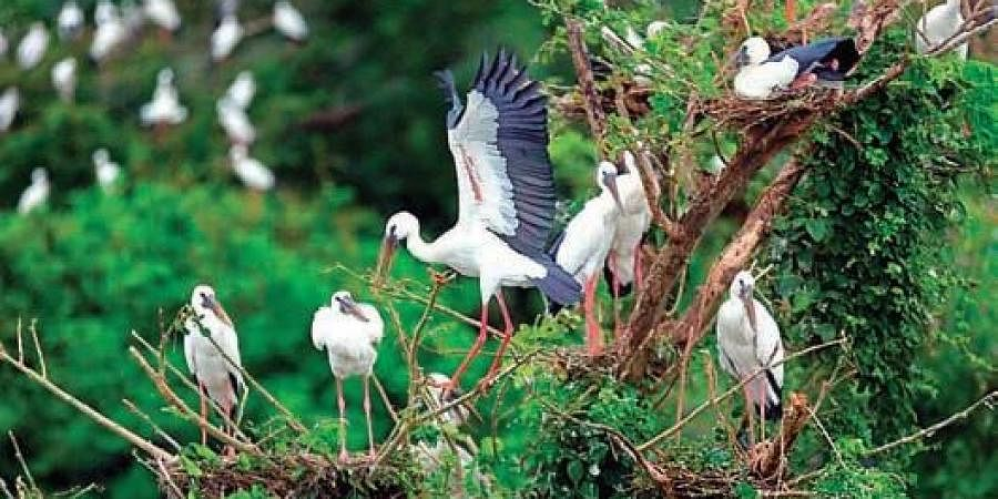 Cranes on a tree at Telukunchi village in Srikakulam district | EXPRESS