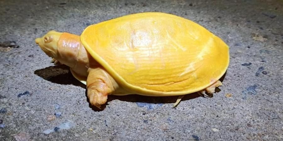 The yellow turtle was rescued by locals from Sujanpur village in Balasore district