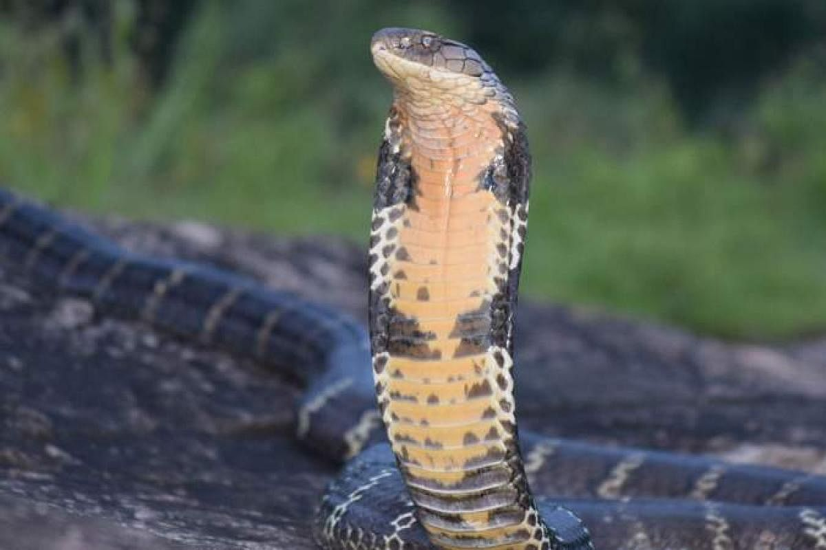 Brazil's most famous cobra helps release other snakes by busting  trafficking ring- The New Indian Express