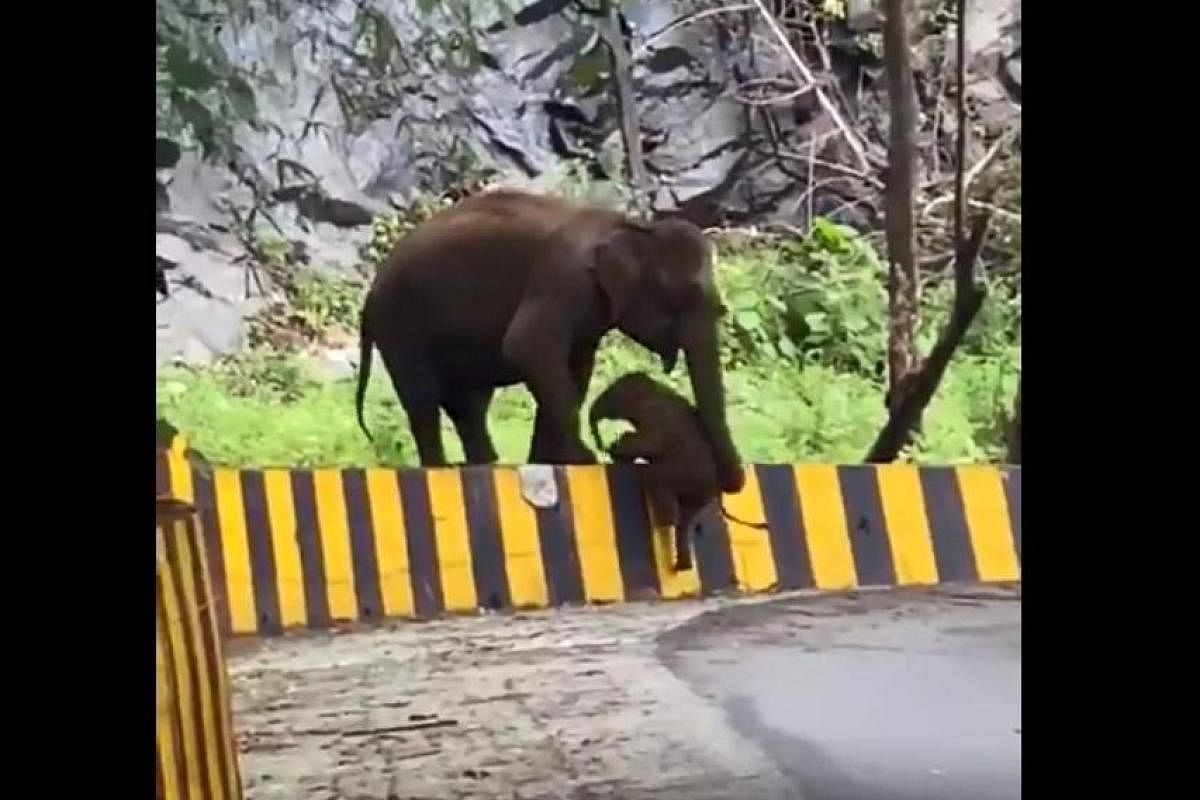 Watch Mother Uses Trunk To Help Baby Elephant Climb Barrier In Kerala The New Indian Express