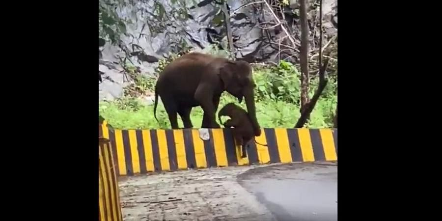 Baby elephant helped by mother climb a roadside barrier.