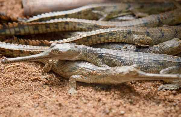 As COVID-19 shuts Guindy Snake Park, reptiles breed successfully but no money to feed babies