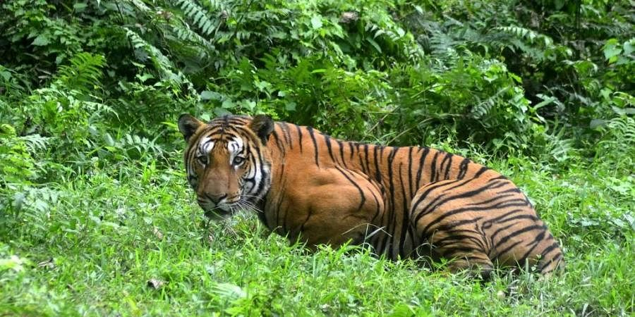 Royal Bengal Tiger pauses in a jungle clearing in Kaziranga National Park. (Photo| AFP)
