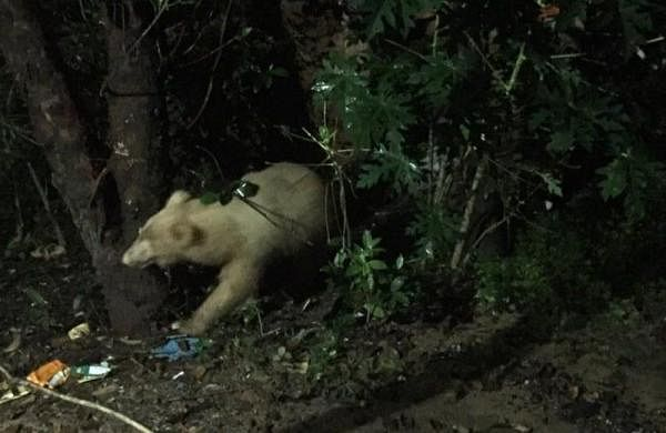 White bear spotted in north Chhattisgarh's Koriya district