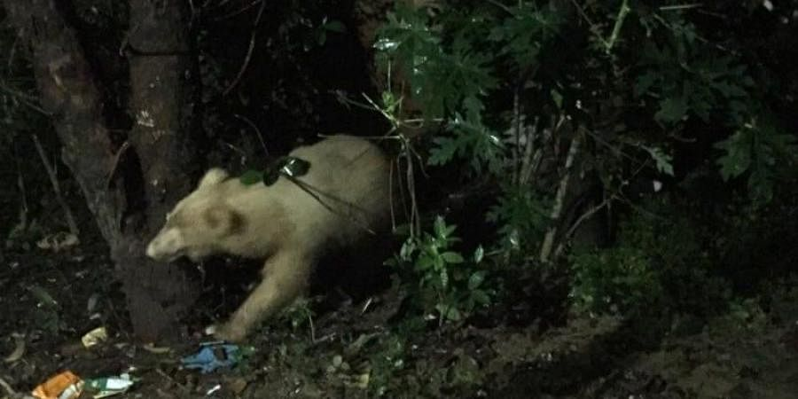 The photo of the bear captured by a local resident on his mobile phone camera at Domanhil in Chirmiri was shared with the local forest officials.