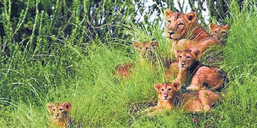 Lion population has registered an increase of 25% in the last five years