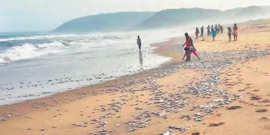 A large number of fish washed ashore at Rushikonda beach in Visakhapatnam on Tuesday. Local people are seen collecting the fish.