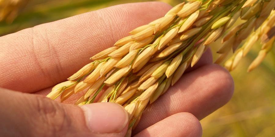 rice, grains