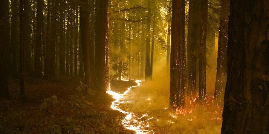 A forest burns as the CZU August Lightning Complex Fire advances, Thursday, Aug. 20, 2020, in Bonny Doon, California (Photo | AP)
