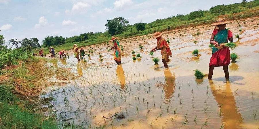 Farmers planting paddy saplings on a field in Dhenkanal district