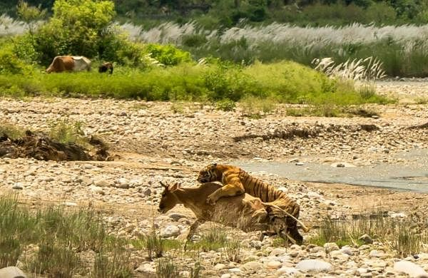 See photos: Tigress, cubs come out in the open, hunt cow near Corbett
