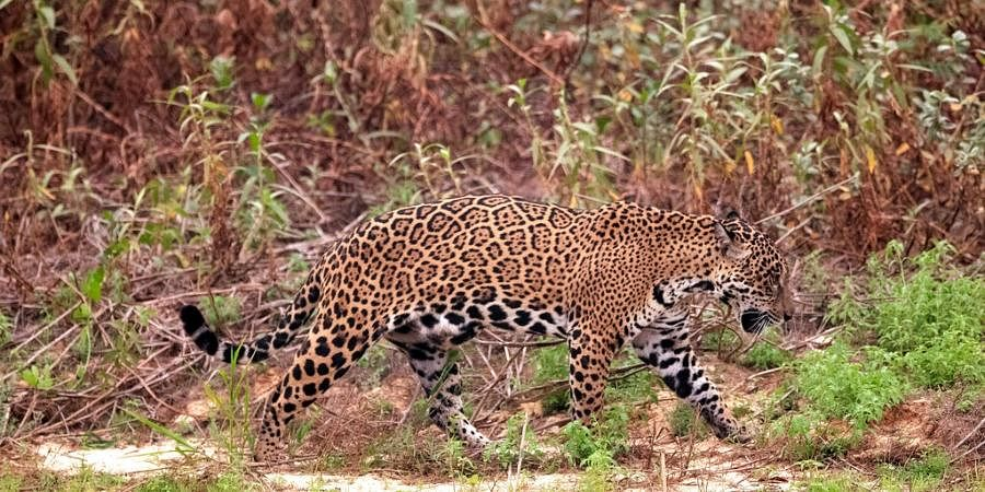 A jaguar limps along the banks of the Piqueri river in the Encontro das Aguas Park near Pocone, Mato Grosso state, Brazil