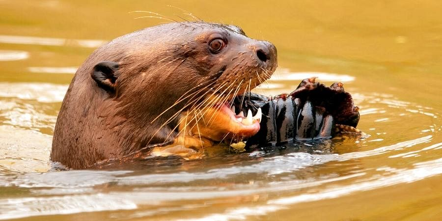 An otter eats a fish at the Encontro das Aguas park at the Pantanal wetlands near Pocone, Mato Grosso state, Brazil