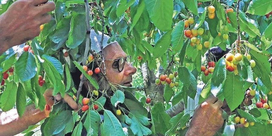 A farmer picks cherries from a tree in Shopian of south Kashmir.