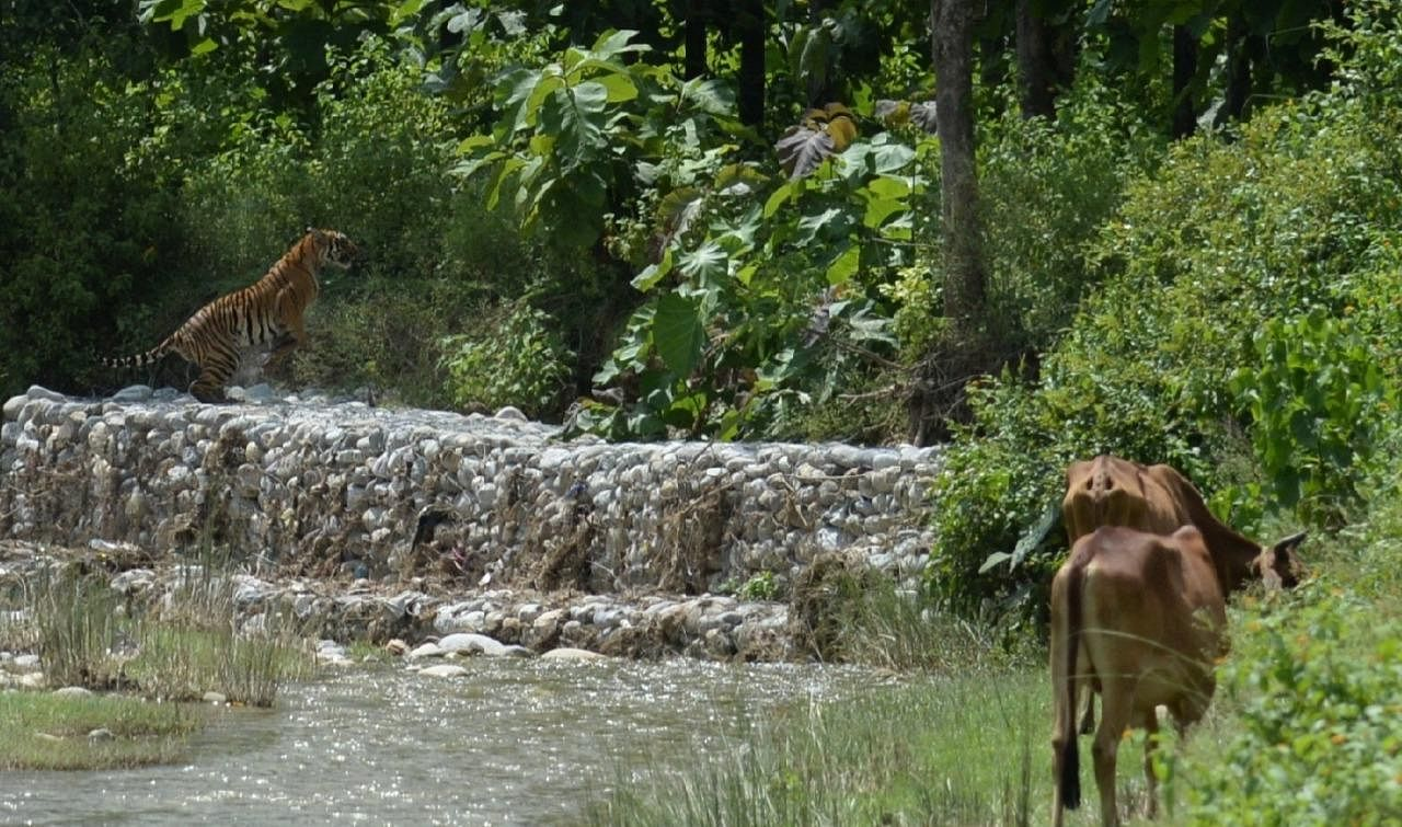 The tigress has been spotted by locals in and around CTR and has accounted for at least six killings in the last few months. She has three cubs. (Photo | Mukesh Yadav)