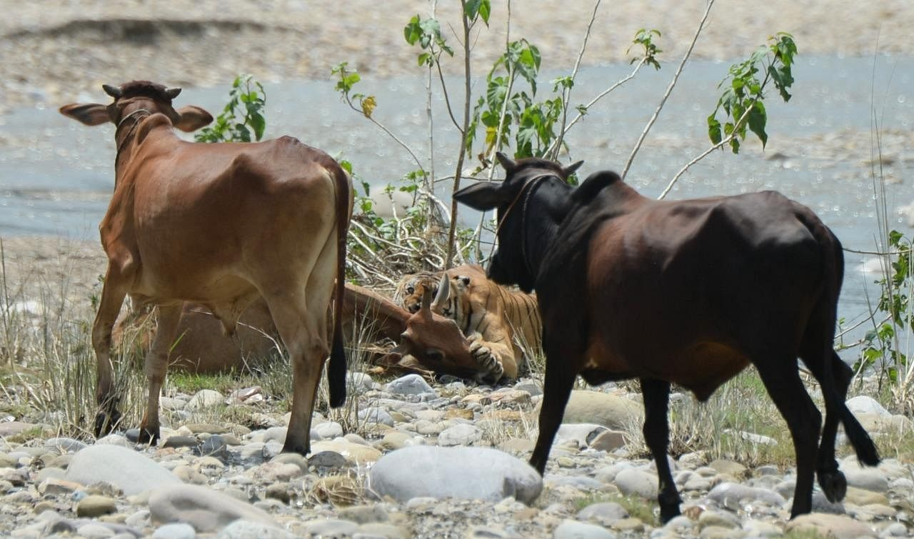 'Wildlife photography by such enthusiasts create an evidence on record which is a good thing. What we need to do is put measures in place to conserve the wildlife,' said a highly-placed official. (Photo | Mukesh Yadav)