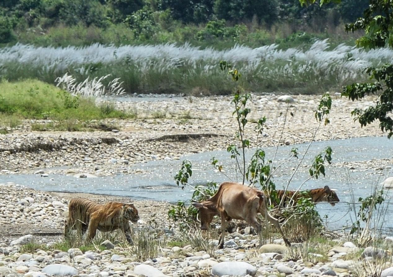 The pictures were captured by Mukesh Yadav, a social entrepreneur and wildlife photographer involved in organic farming of medicinal plants and many other activities in Ramnagar, near the Corbett Tiger Reserve. (Photo | Mukesh Yadav)