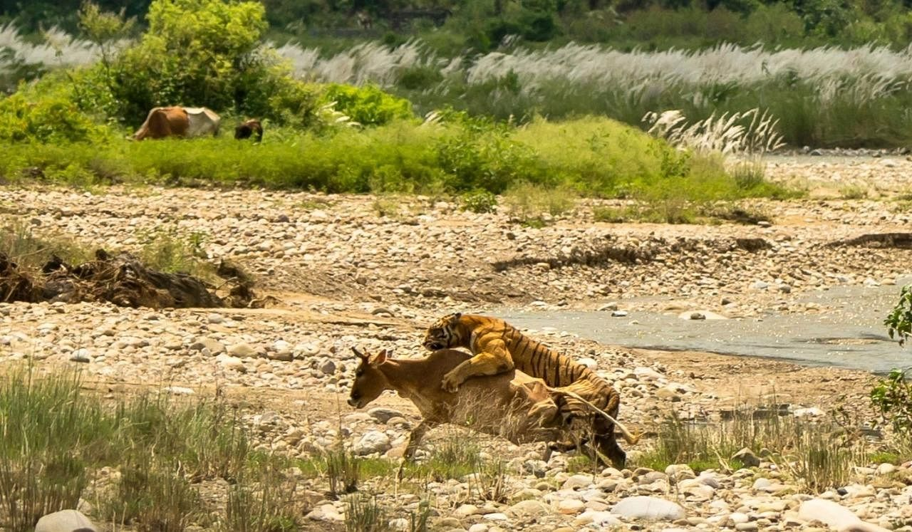 Pictures of a tigress capturing her hunt, a cow in a village in Corbett landscape have gone viral on social media and caught everyone's attention. (Photo | Mukesh Yadav)