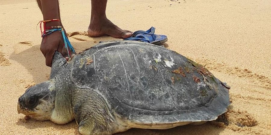 An Olive Ridley turtle that was rescued by fishermen and forest officials in Bhatkal