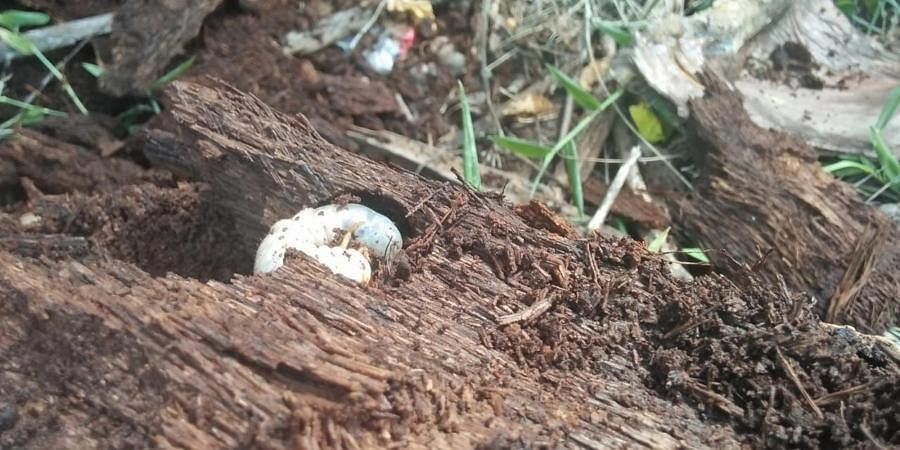 A Rhinoceros Beetle larvae infesting in the debris of a coconut tree which was fell by Gaja Cyclone.