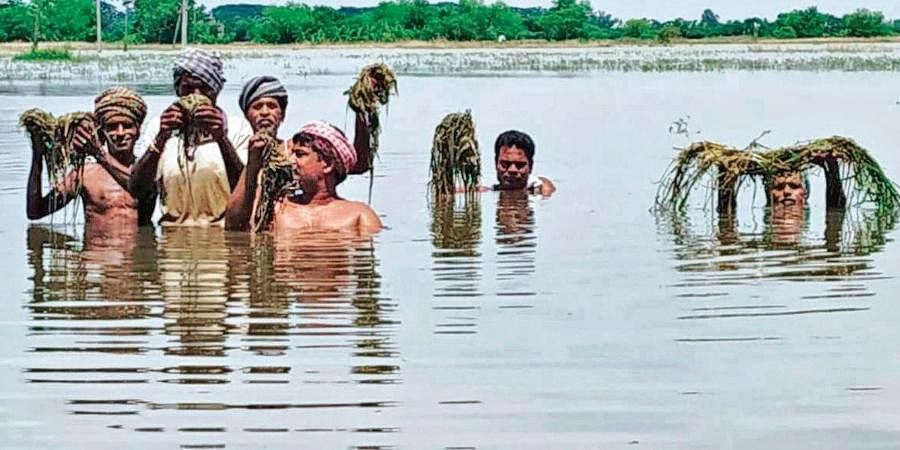 Farmers show rotten paddy saplings in flood-hit Gobindapur village of Kendrapara district.