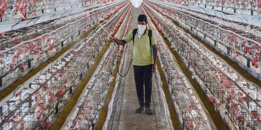 A worker sprays disinfectant inside a poultry farm as a precaution against bird flu in Karad Maharashtra Tuesday