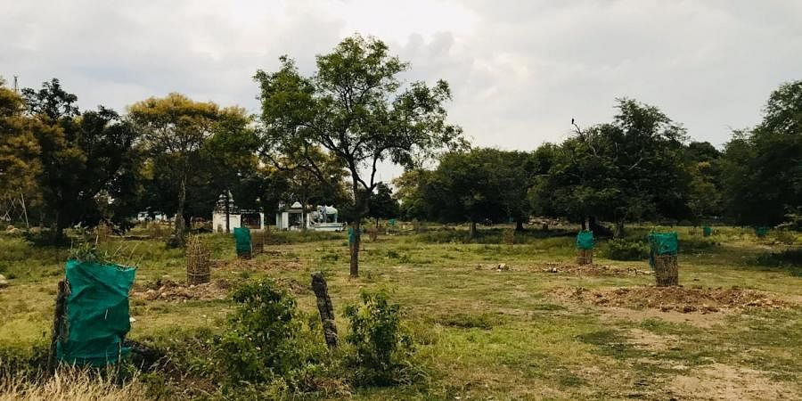 The trees also serve as fodder for goats and cows, and offers many benefits for biodiversity.