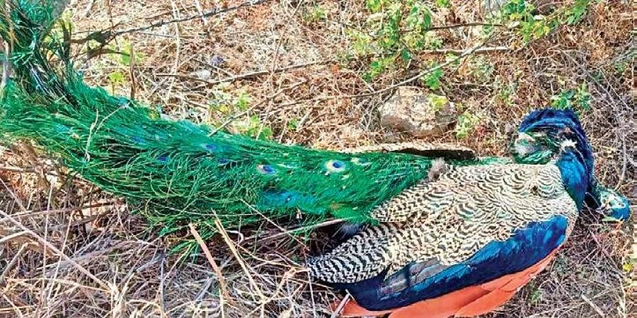 Carcass of a peacock found dead in a trap set up by poachers, on Tuesday