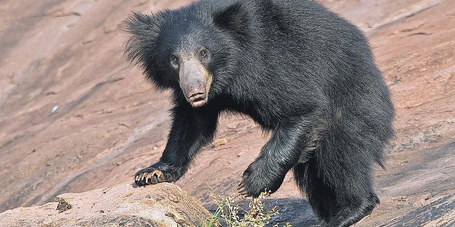 The daroji sloth bear sanctuary in Ballari protects several mammals at the world heritage site of Hampi